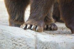 Лапки бурого медведя (arctos Ursus) Стоковая Фотография RF