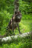 Лапки волчанки волка серого волка Черно-участка вверх на журнале Стоковая Фотография RF