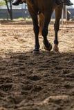 Лапки лошади идти рысью коричневые на тренировке зашкурят майну Стоковые Фото