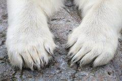 Лапки полярного медведя (maritimus Ursus) Стоковые Фото
