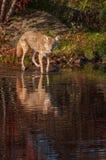Лапки latrans волка койота в воде Стоковая Фотография RF