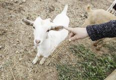 Ласкать козу на ферме стоковое изображение