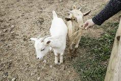Ласкать козу на ферме стоковое фото rf