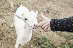 Ласкать козу на ферме стоковые фотографии rf