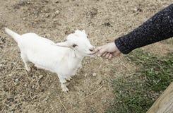 Ласкать козу на ферме стоковые изображения rf
