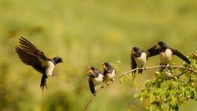 Ласточка амбара подает один из своего птенеца 4 в полете Стоковые Изображения