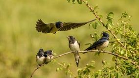 Ласточка амбара подает один из своего птенеца 4 в полете Стоковые Фото