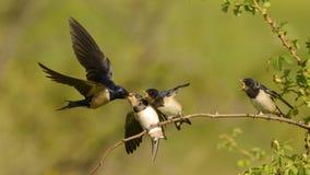 Ласточка амбара подает один из своего птенеца 4 в полете Стоковая Фотография RF