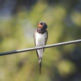 Ласточка амбара птицы сидя на проводе Стоковое Изображение RF