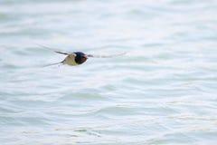 Ласточка амбара Стоковая Фотография RF
