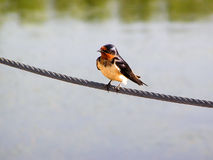 ласточка амбара Стоковое Фото