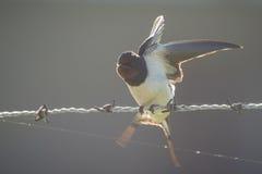 Ласточка амбара Стоковое Изображение RF