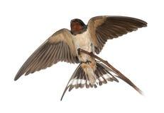 Ласточка амбара, rustica Hirundo, садясь на насест Стоковые Фотографии RF
