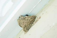 Ласточка в гнезде на белой стене Стоковое Фото