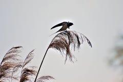 Ласточка на тростнике Стоковое фото RF
