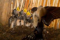 Ласточка подавая молодые птицы в гнезде Стоковое фото RF
