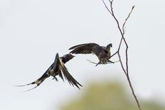 Ласточка подает ее цыпленок на пруде на лету Стоковые Фото