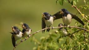 4 ласточки амбара птенеца ждать их родителей сидя на ветви Стоковые Фото