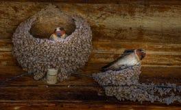 Ласточки в их гнездах Стоковая Фотография