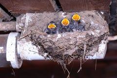 ласточки гнездя птицы Стоковые Изображения