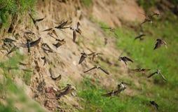 Ласточки летая летая птицы ласточек Стоковое Изображение RF