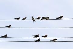 Ласточки сидят в строках на проводах в деревне Стоковая Фотография