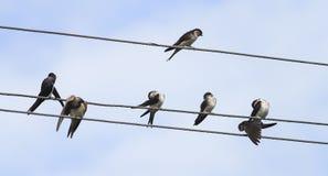 Ласточки сидят в строках на проводах в деревне Стоковые Фото