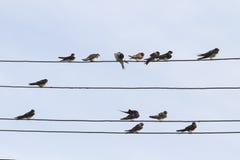 Ласточки сидят в строках на проводах в деревне Стоковое Фото