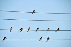 Ласточки сидя на проводах Стоковое Фото