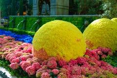 ЛАС-ВЕГАС, NV - 13-ОЕ ИЮНЯ 2017: Лимоны фигурной стрижки кустов среди красочных зацветая заводов Стоковые Изображения