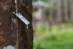 Латекс жать от резиновых заводов Стоковые Фото