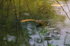 латинская вода varanus salvator имени монитора Стоковые Изображения RF