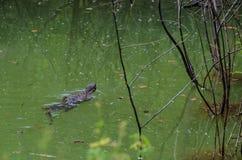 латинская вода varanus salvator имени монитора Стоковое Фото