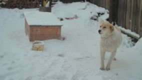 Лаять прикованная собака в wintergarden на снеге сток-видео