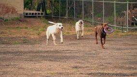 Лаять собаки породы Doberman видеоматериал