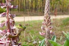 Лаять Treefrog Стоковая Фотография RF