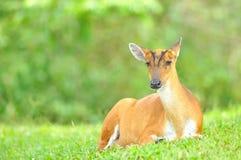 Лаяя олени или Muntjac, Таиланд Стоковая Фотография