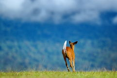 Лаяя олени Стоковое Изображение RF