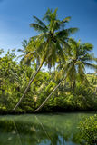 Ладони кокоса Индонезии Стоковая Фотография