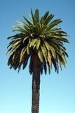 Ладонь ананаса или финиковая пальма Канарских островов Стоковое фото RF
