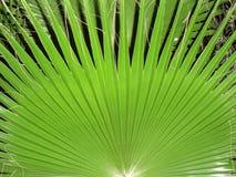 Ладонь вентилятора лист Стоковое Изображение