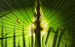 Ладонь вентилятора, Флорида Стоковое фото RF