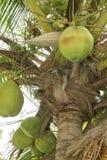 ладонь кокоса Стоковое Изображение