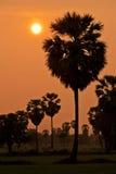 Ладонь сахара во время захода солнца Стоковое Изображение RF