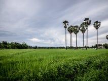 Ладонь сахара в Таиланде Стоковое фото RF