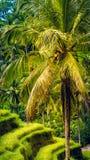 Ладонь с большими ветвями в изумлять террасу риса Tegalalang, Ubud, Бали, Индонезию Стоковое Изображение RF