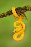 Ладонь Pitviper ресницы, schlegeli Bothriechis, на зеленой ветви мха Ядовитая змейка в среду обитания природы Ядовитое животное д Стоковая Фотография RF