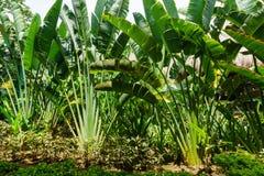 Ладонь Ravenala вызвала также путешественников деревом, символом Мадагаскара Красивые ветви ладони в саде Madagascari Ravenala Стоковое фото RF