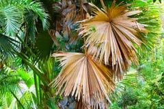 Ладонь Talipot - Corypha Umbraculifera Стоковые Фотографии RF