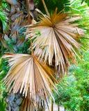 Ладонь Talipot - Corypha Umbraculifera Стоковое Изображение RF